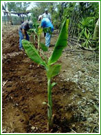 Plantain cultivation