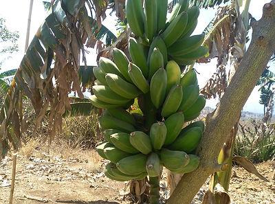 banana trees March 2020
