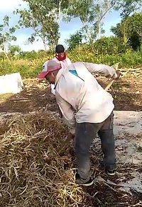 This is the bean harvest. The farmers cannot afford to buy the big thrashing machines, so they are left to beat them by hand to remove the beans.