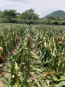 Don Juan's cornfield