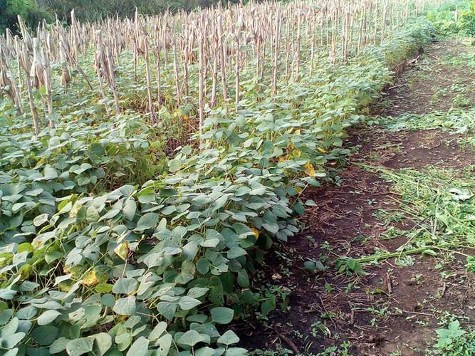 Bean field in Atecuacia, Ahuachapan Oct 2020