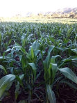 Corn field in San Diego, Metapan