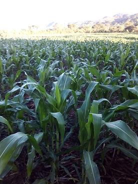 Corn field in San Diego, Metapan