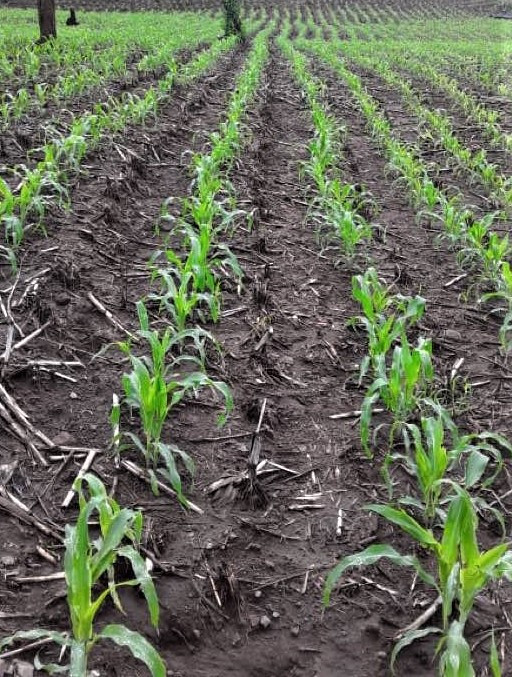 Chepe Ruiz's cornfield June 2020