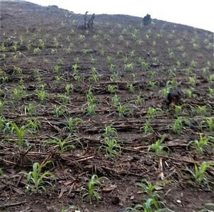 Armando's cornfield in Monte el Padre