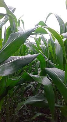 Chepe Ruiz's cornfield in Monte el Padre July 2021