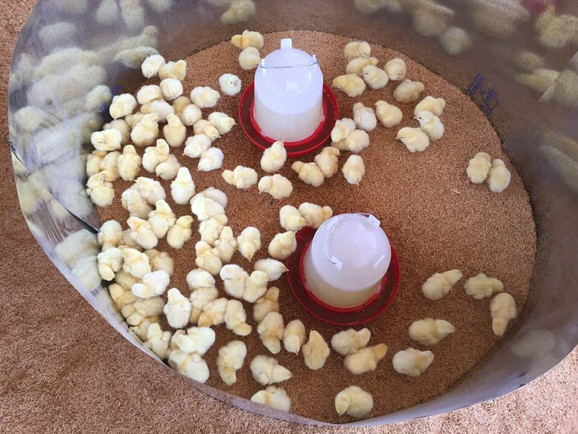 Vaccinating the San Diego chickens