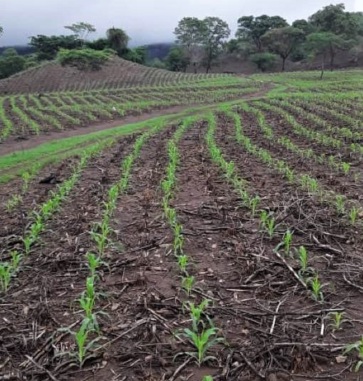 Chepe Ruiz's cornfield Jun 2020