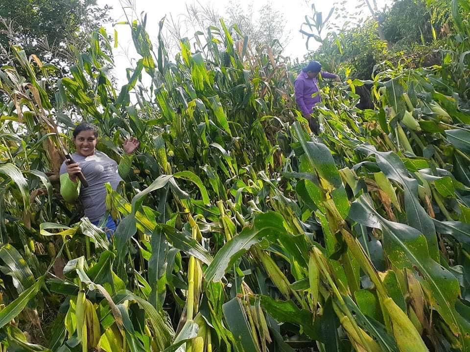 Don Victor's cornfield