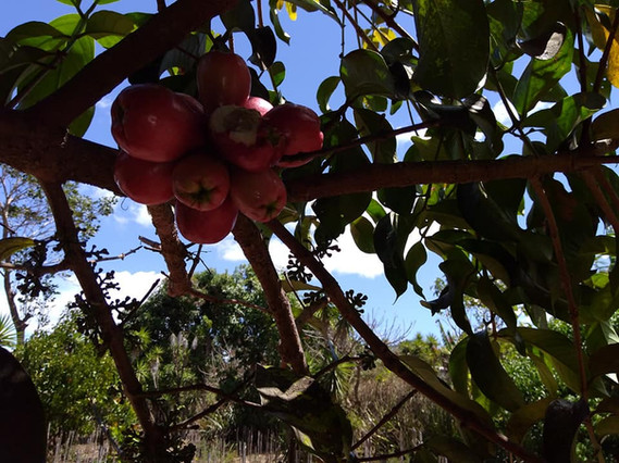 Japanese marañón commonly know as Malay apple trees March 2020