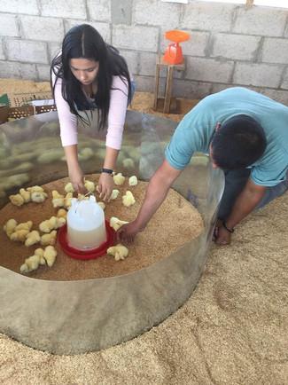 San Diego chickens