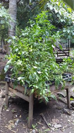 Peppers grown in household raised gardens