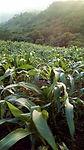otrafe_agriculture_corn9.jpg