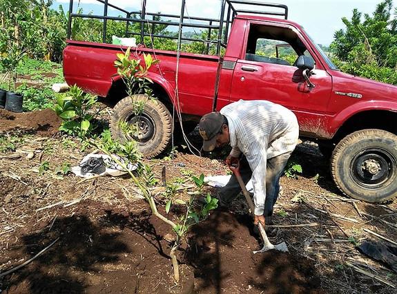 Planting fruit trees as an alternative crop