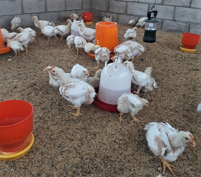 April 2020 San Diego chicken project, gr