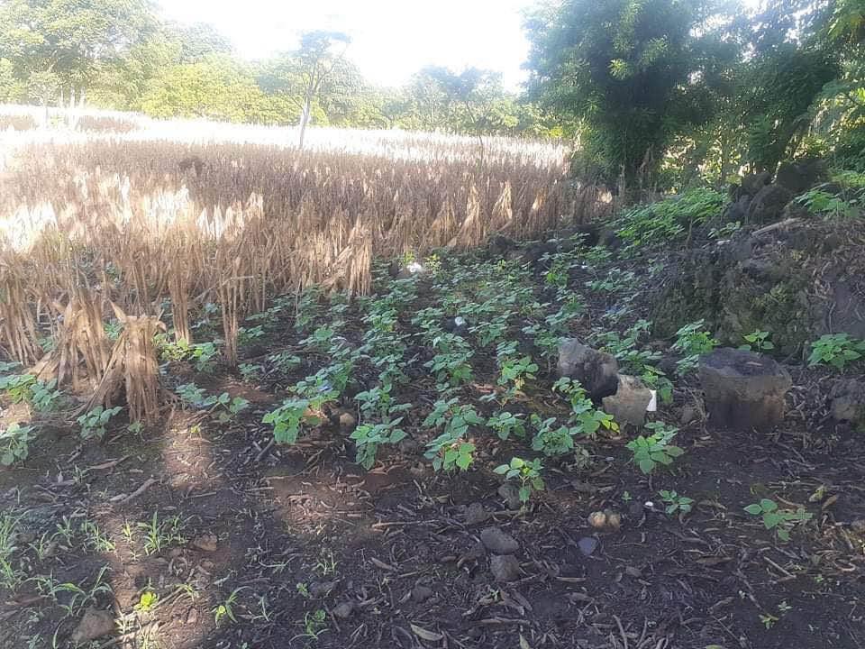 Victor's bean crop in San Diego Sept 202
