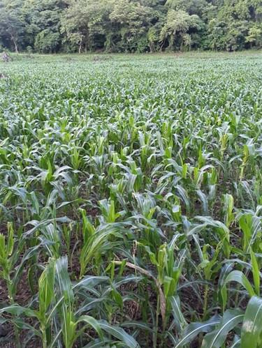 Don Victor's cornfield June 2020, San Diego farmer