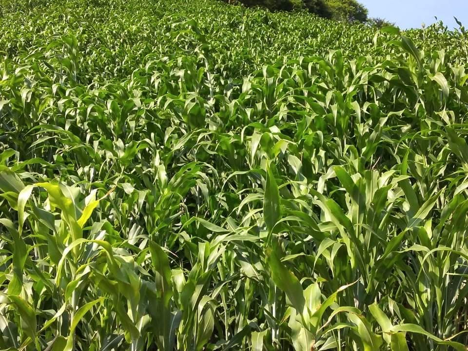 Maicillera planted by Chepe in Metapan O