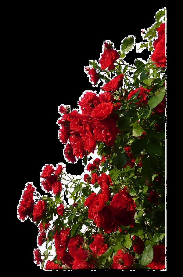 90-902663_rose-red-flower-red-rose-bush-png_edited.png