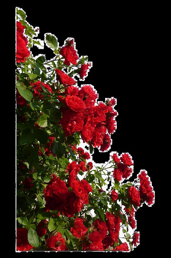90-902663_rose-red-flower-red-rose-bush-png_edited_edited.png