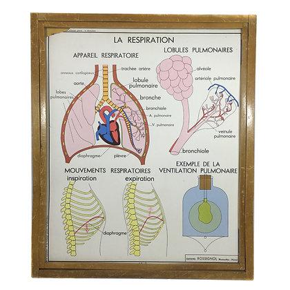Affiche corps humain - Les échanges gazeux et la tuberculose / La respiration