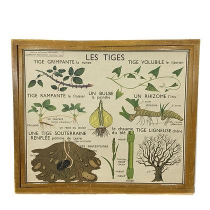 Affiche Botanique - Les tiges / Les racines adventives