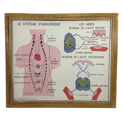 Affiche corps humain - Le système sympathique / La peau et le toucher