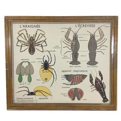 Affiche L'araignée et l'écrevisse / Le hanneton