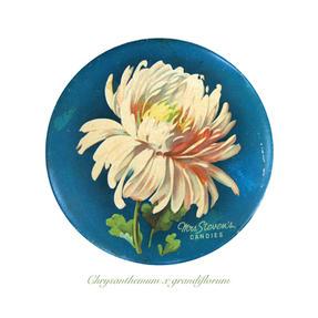 Exhibition Chrysanthemum