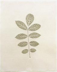 Spathodea campanulata (Flame)