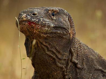 Filming Komodo Dragons for 'Planet Earth II' Is More Dangerous Than It Looks