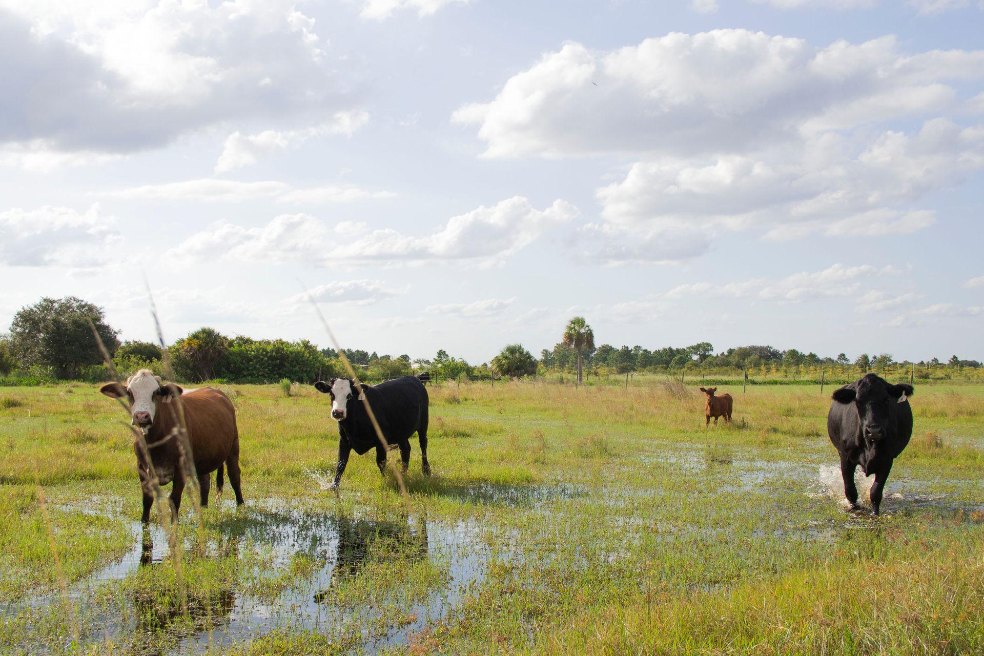 Cows on farm site in Punta Gorda