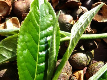 Three Keys of Real Tea Leaves