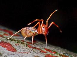 Ant-like Crab Spiders: The Amyciaea Genus