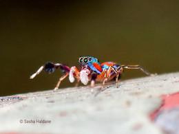 JUMPING SPIDERS: the SILER genus