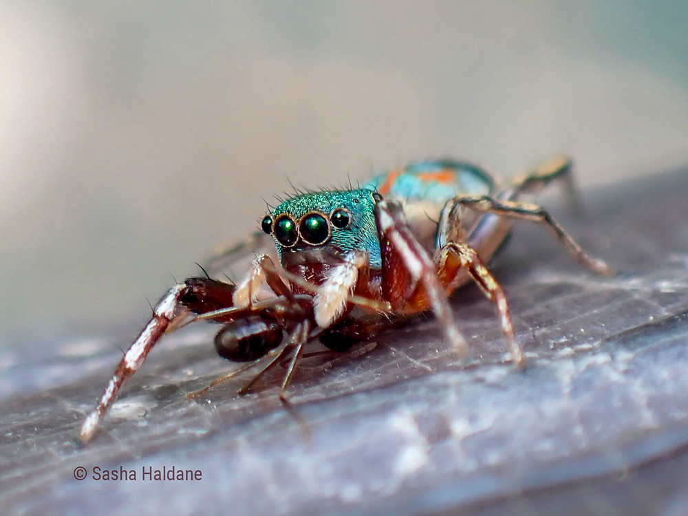 Female spider predating on an ant worker