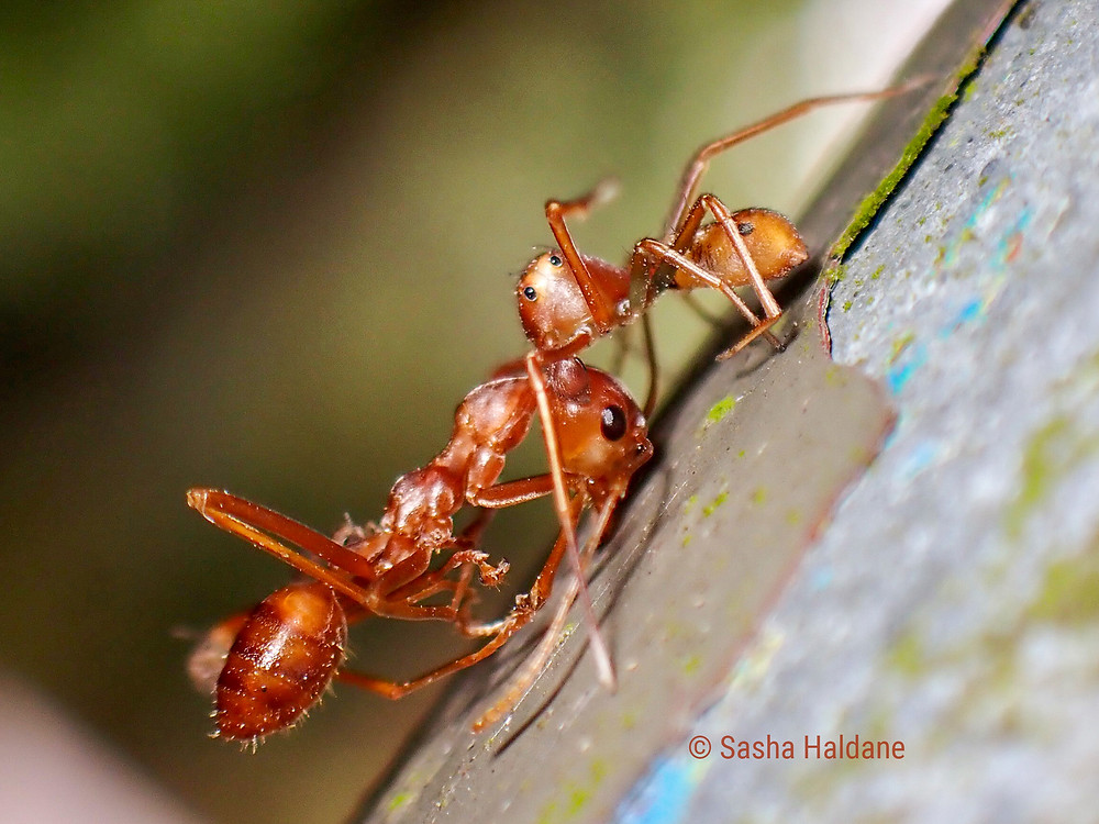 An Amyciaea spider is attacking an Weaver Ant