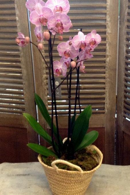 Orquídea 3 varas con cesto