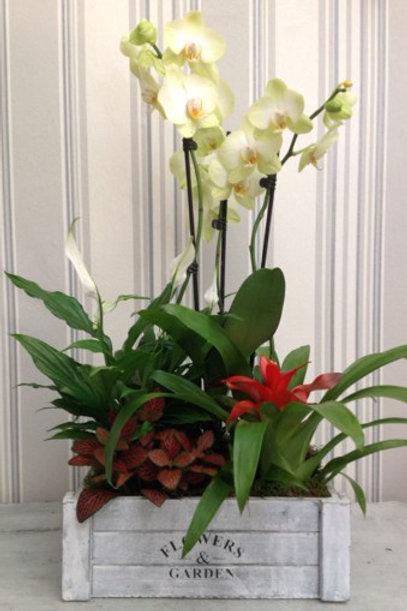 Caja de Plantas con Orquídea