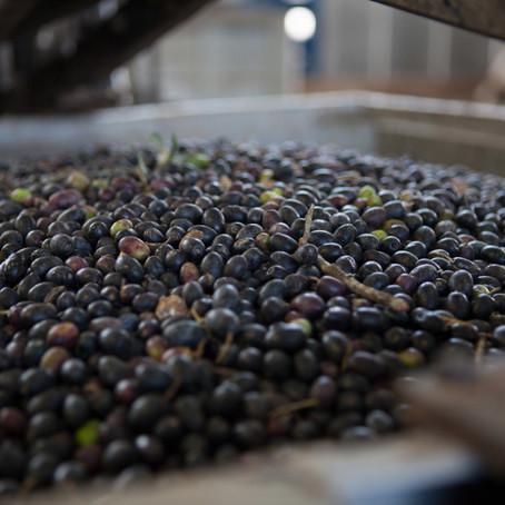 La tecnica di produzione dell'olio extra vergine d'oliva