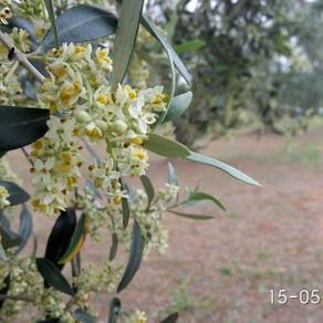 Fiori d'ulivo