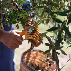 La cultura dell'olio extra vergine di oliva