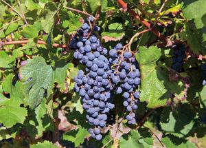 foto sito vitigni merlot.jpg