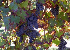 foto sito vitigni cabernet.jpg