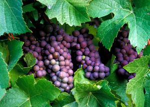 foto sito vitigni pinot grigio .jpg