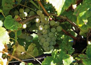 foto sito vitigni verduzzo.jpg
