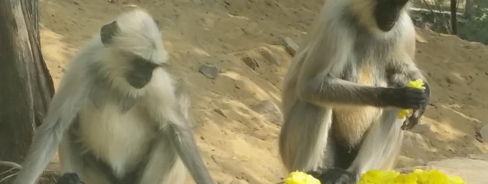 Monkeys & the Temple