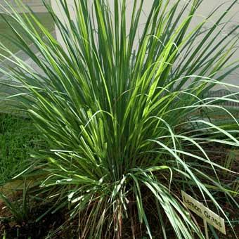 The Many Benefits of Lemongrass Oil