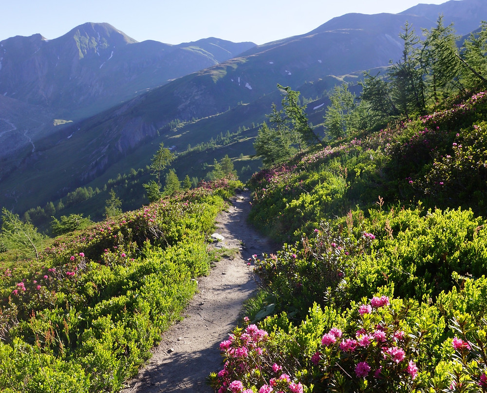 Tour du Mont Blanc trek through green fields with mountain flowers