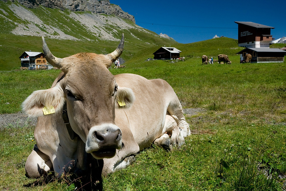 Cow sitting in the green grass in the Alps